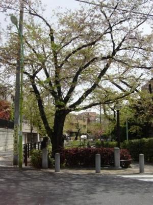 桜がきれいな代田川緑道