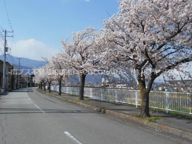 滝沢川の桜が咲きとてもキレイです!