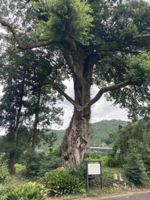 土地の西側には、浜松市指定天然記念物の「椋の木」が楽しめます