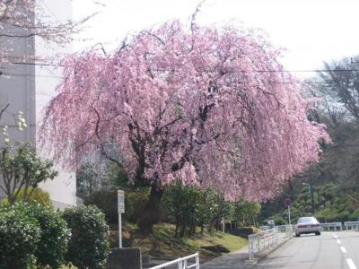 団地内に咲く枝垂れ桜