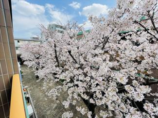 敷地内の桜をバルコニーから眺められます! 一面に咲き誇る桜の美しさを現地で感じて下さい♪
