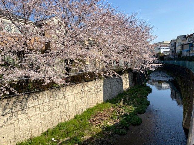毎年、白子川沿いの桜が咲き乱れ、美しい景観となります。