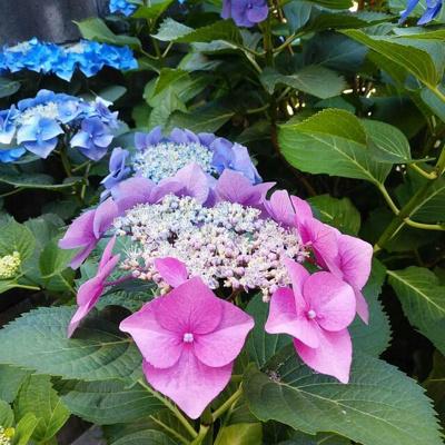 梅雨時期には綺麗なアジサイが咲きます