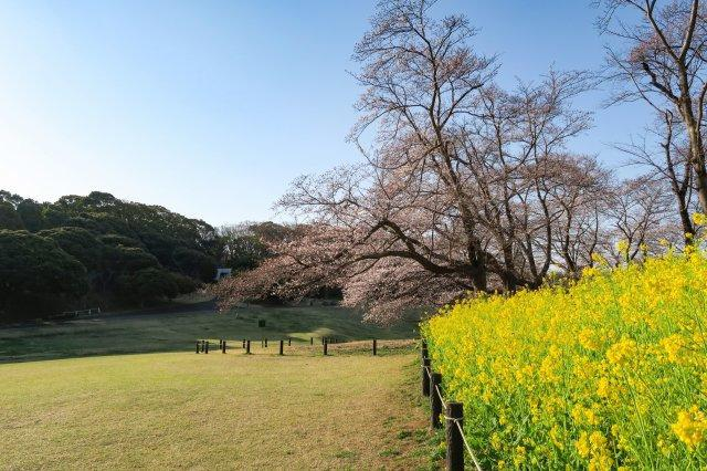 根岸森林公園(徒歩約10分) 広大な芝生エリアがあり、桜は県内有数の花見スポットです。パークヨガ、ドッグラン等も開催されています。