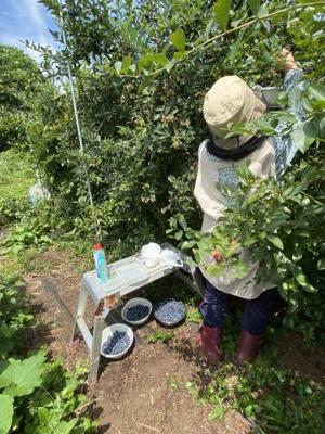ブルーベリーが栽培されていて、7月~9月の収穫期には数十キロの果実が取れるそうです。 手入れは2月ころの追肥以外は必要ないとのこと。