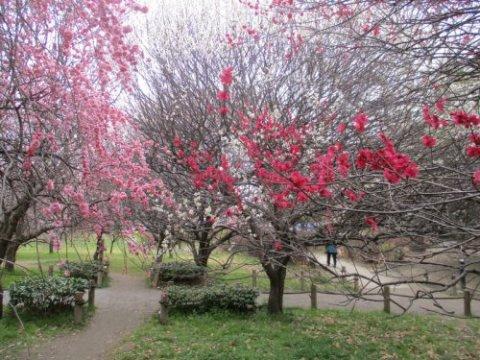 「越谷梅林公園」まで約1400m~古くから地域で親しまれている越谷梅林公園、広い敷地内には、約40種300本の梅の木が植えられ、毎年可憐な花をつけます。