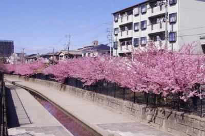 近隣の遊歩道 淀の河津桜