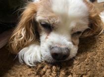 ショコラの寝顔の画像