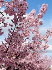 おかやまの春の画像