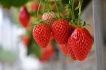 上越市にあるいちご農園「苺の花ことば」とは?魅力的な商品もご紹介の画像