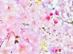 岩手県盛岡市内にある桜が楽しめる名所とは?見どころや開花時期もチェックの画像