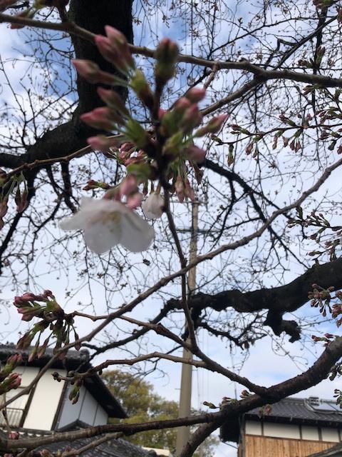 桜の開花の画像