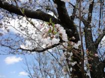 熊本の桜、開花五分咲きの画像