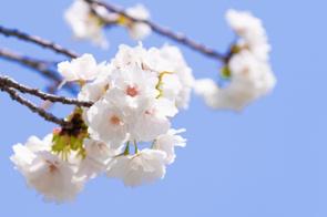 磐田市上野公園の桜/2021年の画像