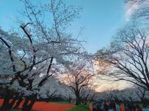 桜満開@代々木公園の画像