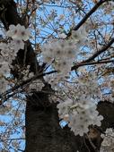 安方神社に桜が咲きましたの画像