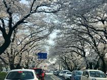 西門大通の桜♪の画像