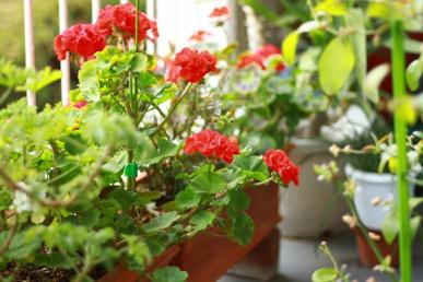 ベランダガーデニングを始めたい方へ!江戸川区小岩のおすすめ花屋の画像