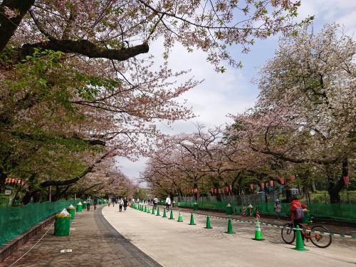 上野公園の桜はまだキレイに咲いています(台東区・上野)の画像