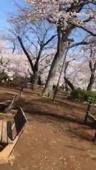 洗足池の桜が咲きました!の画像