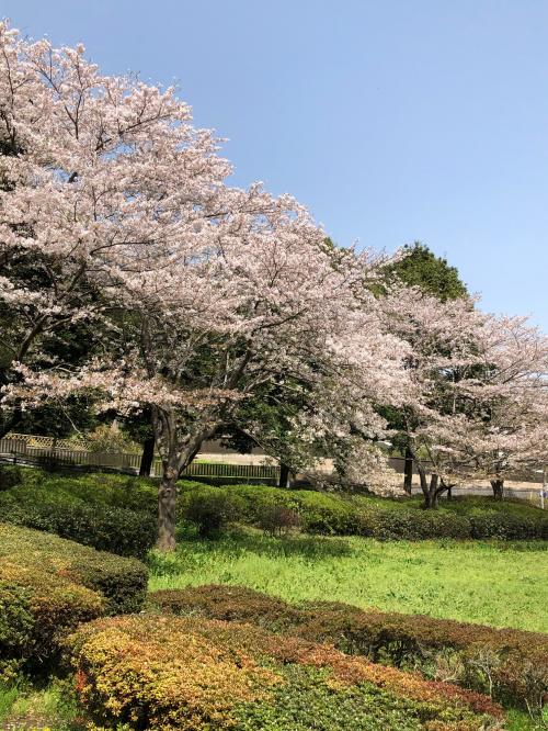 花島公園のサクラ/菜の花 満開!の画像