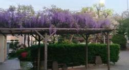 安方神社桜が終わり藤の花が咲いてましたの画像