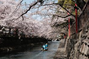 大垣船町川湊の桜の画像