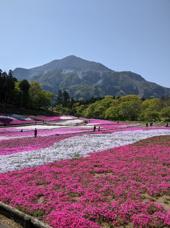 芝桜の丘 羊山公園の画像