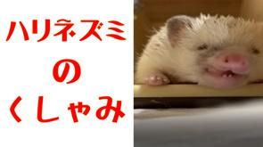 【ハリネズミ】のくしゃみの画像