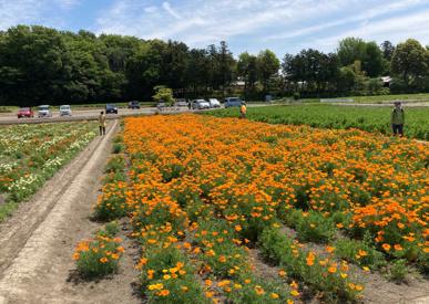 今年のポピー畑は…の画像