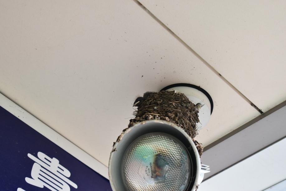 ツバメの雛が孵化していました。 ~日高市高麗川ツバメ日記~の画像