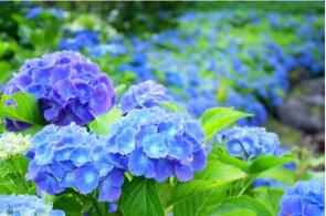 種類が豊富な紫陽花の画像