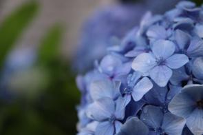 紫陽花の名残の画像
