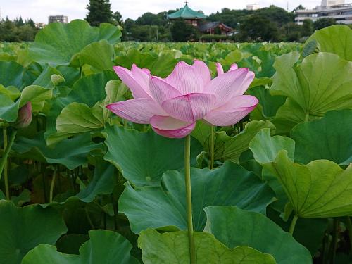【超絶美!】上野不忍池の蓮の花は最高です! 東京・台東区の画像