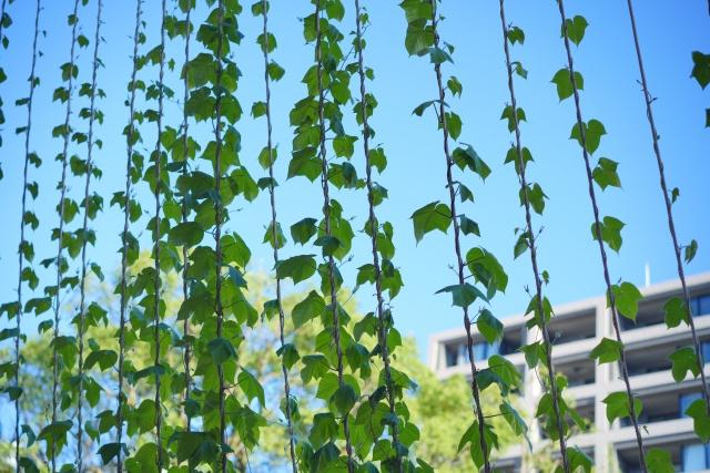 賃貸物件の暑さ対策に効果的なグリーンカーテンのメリットと作り方とは?の画像