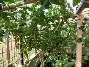 マイホームの庭で楽しむ家庭菜園やガーデニングガイドの画像