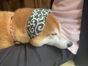 癒しの豆柴カフェのご紹介☆東十条で一人暮らし☆の画像