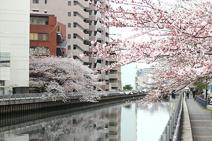 新田間川の桜
