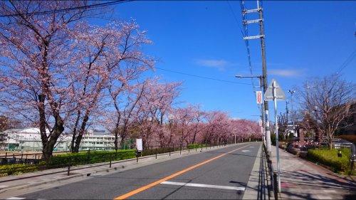 超キレイな桜並木の画像