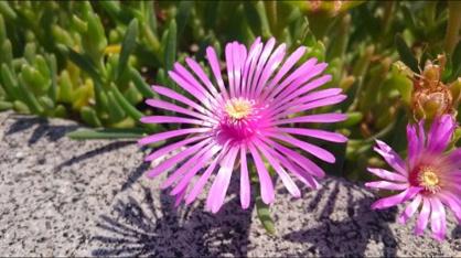 ピンクの花じゅうたんの画像3