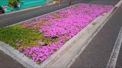 ピンクの花じゅうたんの画像4