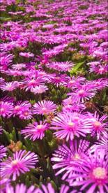 ピンクの花じゅうたんの画像5