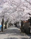 宝塚南口~寿楽荘の桜並木・桜トンネル