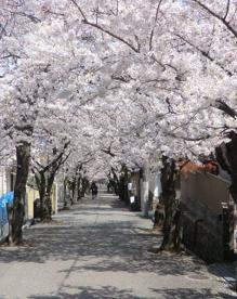 宝塚南口~寿楽荘の桜並木・桜トンネルの画像1