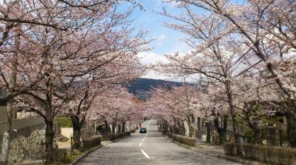 宝塚南口~寿楽荘の桜並木・桜トンネルの画像2