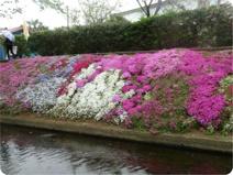 渋田川沿いの芝桜