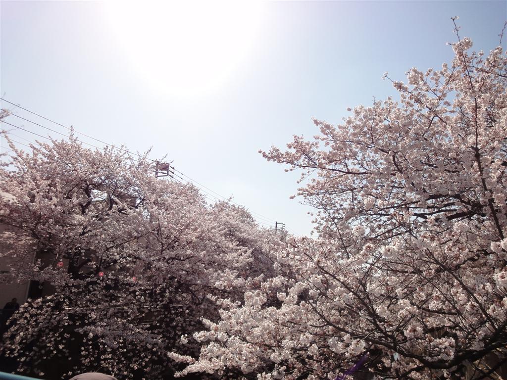 石神井川 桜並木の画像