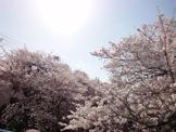 石神井川 桜並木