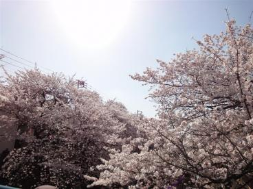 石神井川 桜並木の画像1