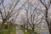 桜つづみ寺田緑地